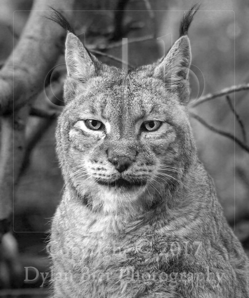 The Lynx Effect